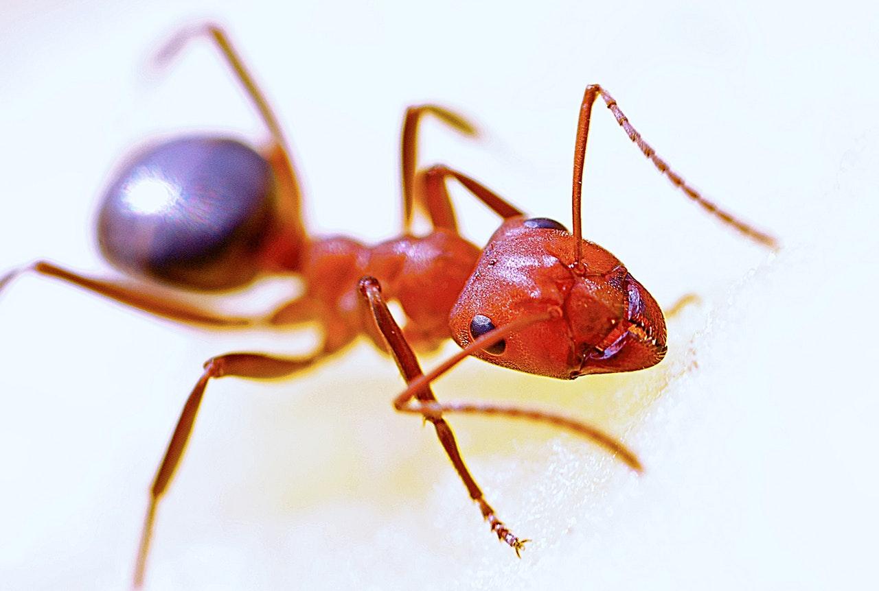 Fire ant macro image