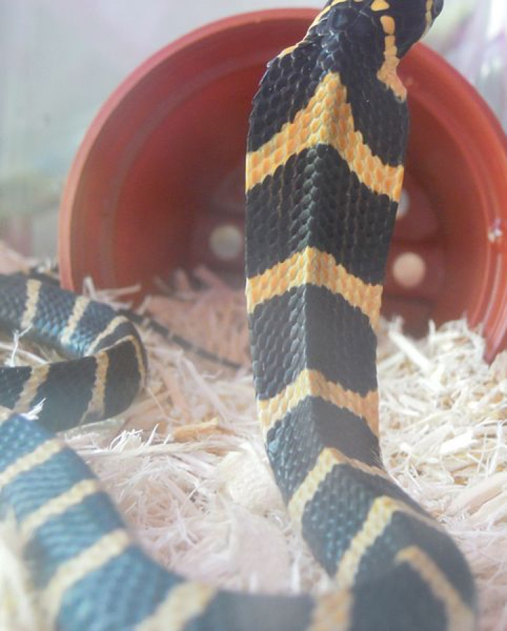King cobra pattern