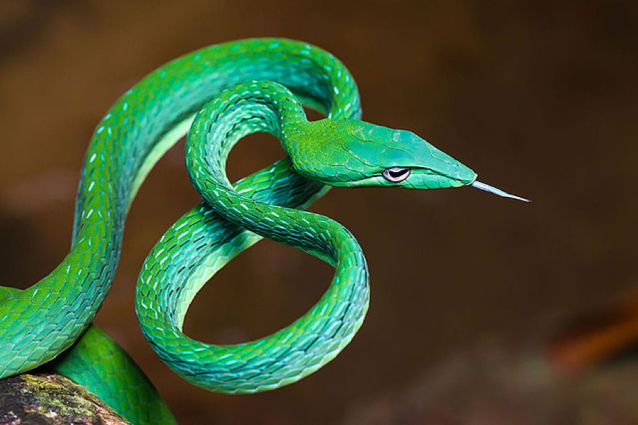Oriental whipsnake