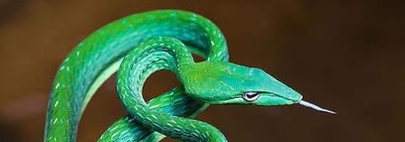 Snakes of Hua Hin
